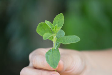 About Stevia